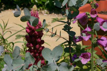 Eucalyptus lupin foxglove